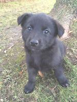 German Shepard Mix Puppies