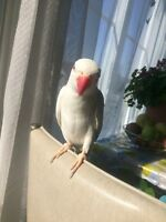 Male one years old albino ringneck parrot