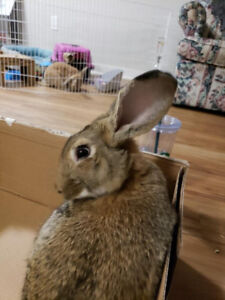 5 month old male bunny for sale! + Accessories