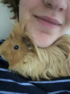 Looking for a loving home for my guinea pigs !