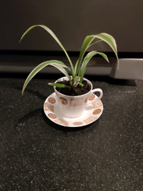 Indoor spider plant in a bone china cup and saucer