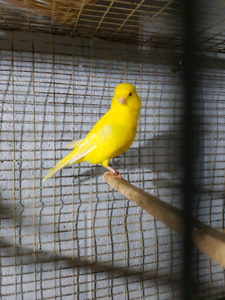 Male Canary For sale