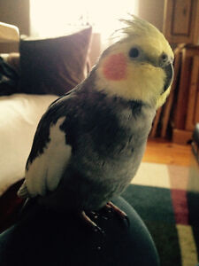 Cockatiel to rehome