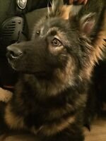 LUCY is a Shep cross, 6 month old, female - HIARC rescue