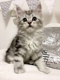 Silver Tabby Maine Coon baby face kittens^^!