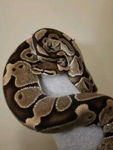 Female ball python to good home