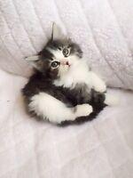 Adorable Tiny Doll Face Himalayan Kitten