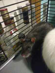 Fancy pet Rat's free to a good home! Cambridge Kitchener Area image 4