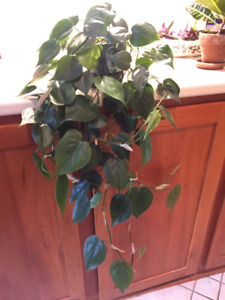 Beautiful, Trailing Heart-Leaf Philodendron Vine-Type Plant