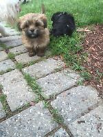Shih tzu Puppies ready to go