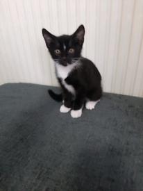 1 black and white boy Siberian x kitten