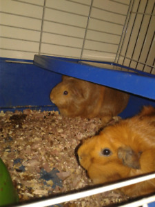 Guinea pigs free to good home!!
