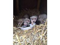 3 silver hob ferrets 1 albino gill..mum available