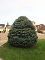 AFFORDABLE TREE PRUNING AND HEDGE TRIMMING SERVICE