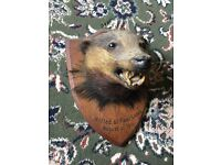 ANTIQUE MOUNTED BADGERS HEAD. 1911. TAXIDERMY