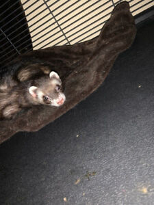 2 Male Ferrets, cage and accessories