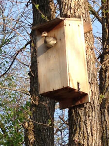 Wood Duck nest boxes wanted.