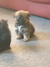 Shitzu x Pomeranian puppies boy