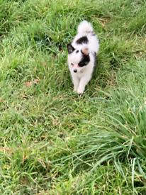 Pom chi puppy