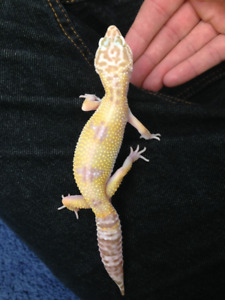 Giant Leopard Geckos, 2 females for rehoming