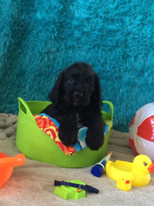 Saint Berdoodle Puppies Ready to Go Home!!