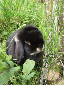 3 year old female Holland Lop for sale