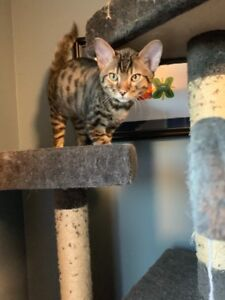 3 SAVANNAH (F4) KITTENS!! LOOKING FOR FOREVER HOMES!!