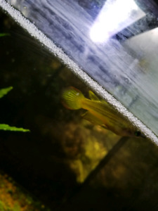 2 golden wonder killifish