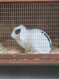 Rabbit with floppy ears