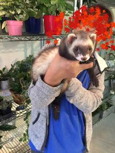cute 6 months old ferret is looking for a home