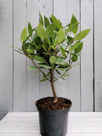 Small aromatic bay laurel tree evergreen plant garden