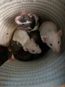 Hand raised Baby Dumbo Rats