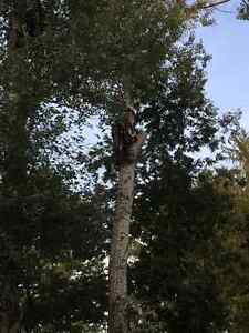 Tree Removal >Tree Triming >PruninG,FALL SPECIAL...... Kitchener / Waterloo Kitchener Area image 10