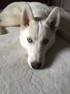 7 month old husky looking for a forever home
