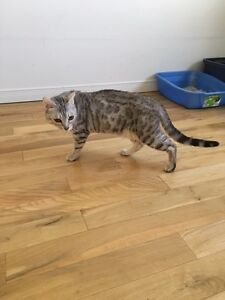 Chatte Bengal silver