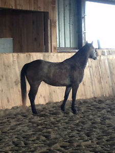 5 year old Mustang/QH Mare