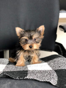 Teacup Puppies For Sale Adopt Dogs Puppies Locally In Toronto