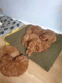 Gorgeous red cockapoo puppies for sale sale