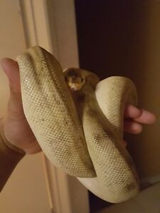 Male pastel champagne ball python for sale