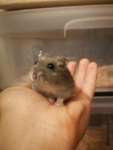 Free Hamsters | Adopt or Rehome Pets in Ontario | Kijiji