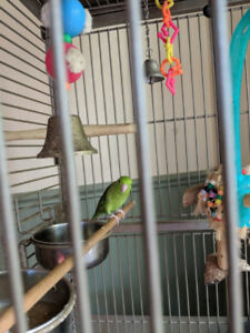 2 Parrolets with Cage