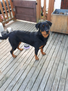 Rotti to rehome.