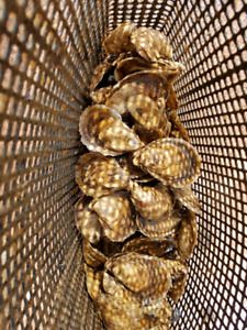 Mussel / Oyster lease for sale