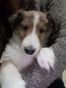 SHELTIE PUPPIES -ALL BOYS-READY  DEC.13th -2 LEFT :)