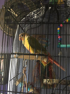 Pineapple Conure for Sale
