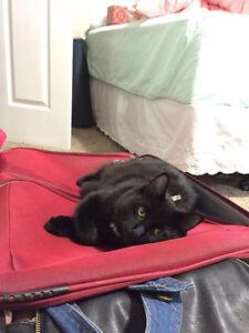 Missing Cat, Black, White hair on chest and abdomen Regina Regina Area image 4