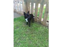 Beautiful Black & White Chihuahua (smooth coat