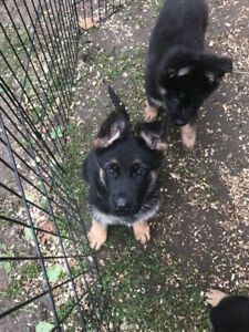 World Class German Shepherd Puppies For Sale