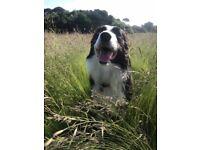 Dog Walker BH2