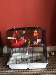 2 lovely Parakeet birds (Budgerigar) with a Full Cage supplies